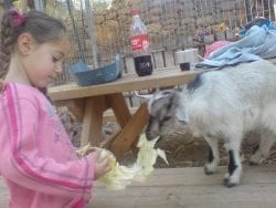 young girl feeding lettuce to small goat