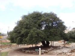 lone oak tree alon Shvut